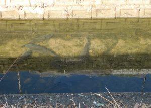 少し深いところに鯉がいます