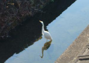 時には、白鷺が餌を探しています。